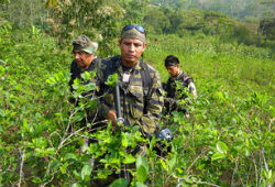 Peru has stepped up coca eradication efforts