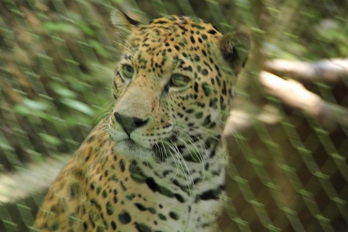 15-06-20-guatemala-jaguar