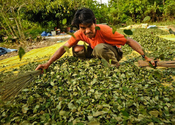 Will increased legal coca cultivation increase cocaine trafficking?