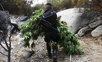 Baja California police destroying marijuana