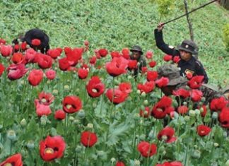 Guatemala police eradicating poppy