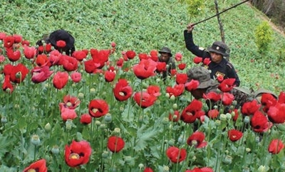 Guatemala police eradicating poppy
