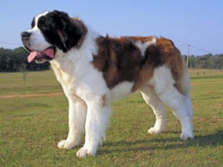 Gang used dogs such as St Bernards as drug mules
