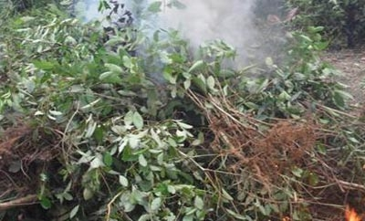 Coca plants incinerated in Esmeraldas, Ecuador