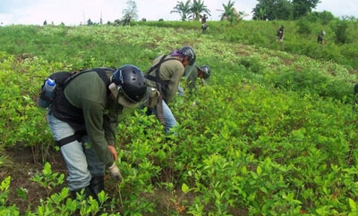 Coca eradication in Peru