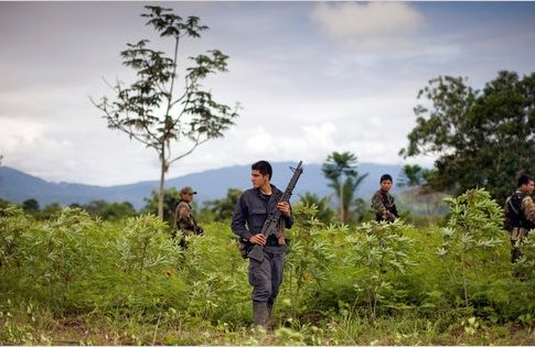 Peruvian police patrol through a coca field