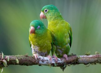 Orange-Chinned Parakeets, Colombia's most trafficked animal