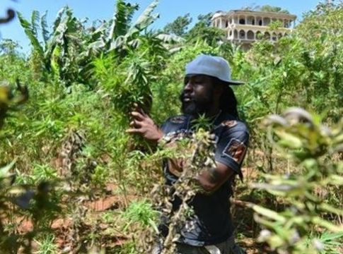 A marijuana farmer in Jamaica
