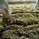 The INCB reports coca cultivation has fallen