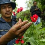 A Guatemala policeman among opium poppies