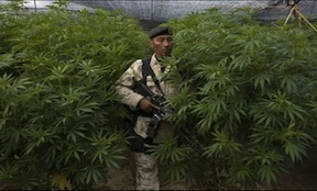 A Mexican soldier in front of a marijuana plantation