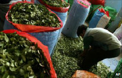 Harvested coca leaves in Peru