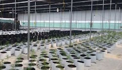 One of the marijuana greenhouse seized