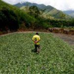 A coca farmer in Peru