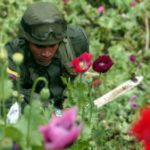 Heroin cultivation in Colombia is rising