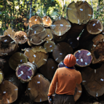 Legally harvested wood in Brazil