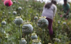 Mexican poppy production up 50% says DEA