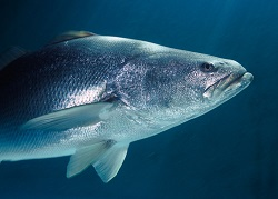 The totoaba fish is endemic to Mexico