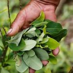 Colombia saw record coca production in 2016