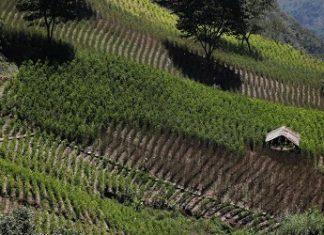 Coca fields in Bolivia