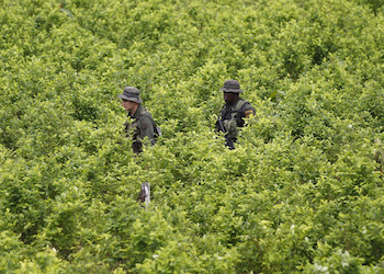 Colombian police move through a coca field