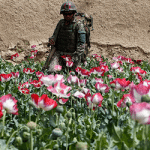 Opuim poppy fields in Afghanistan