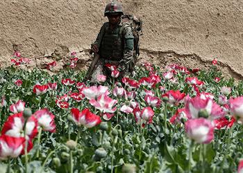 Opuim poppy fields in Afghanistan
