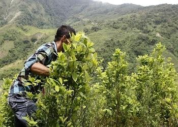 A coca farmer in Antioquia, Colombia