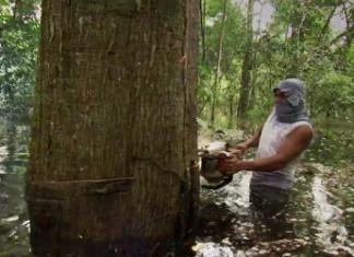 An illegal logger in Peru