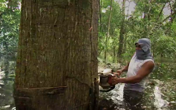 An illegal logger in Peru