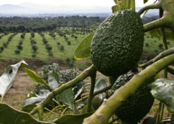 Michoacán state is the world leader in avocado production