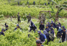 Police oversee farmers hired to destroy coca in San Miguel, Putumayo, near Colombia's border with Ecuador