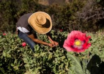 20-10-30-Mexico-Poppy.jpg